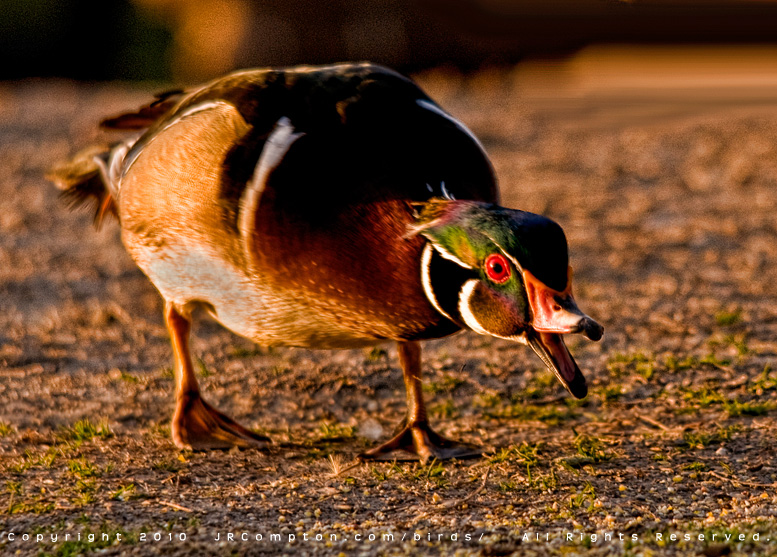 classic-wood-duck-aggression-JR6_5564.jpg