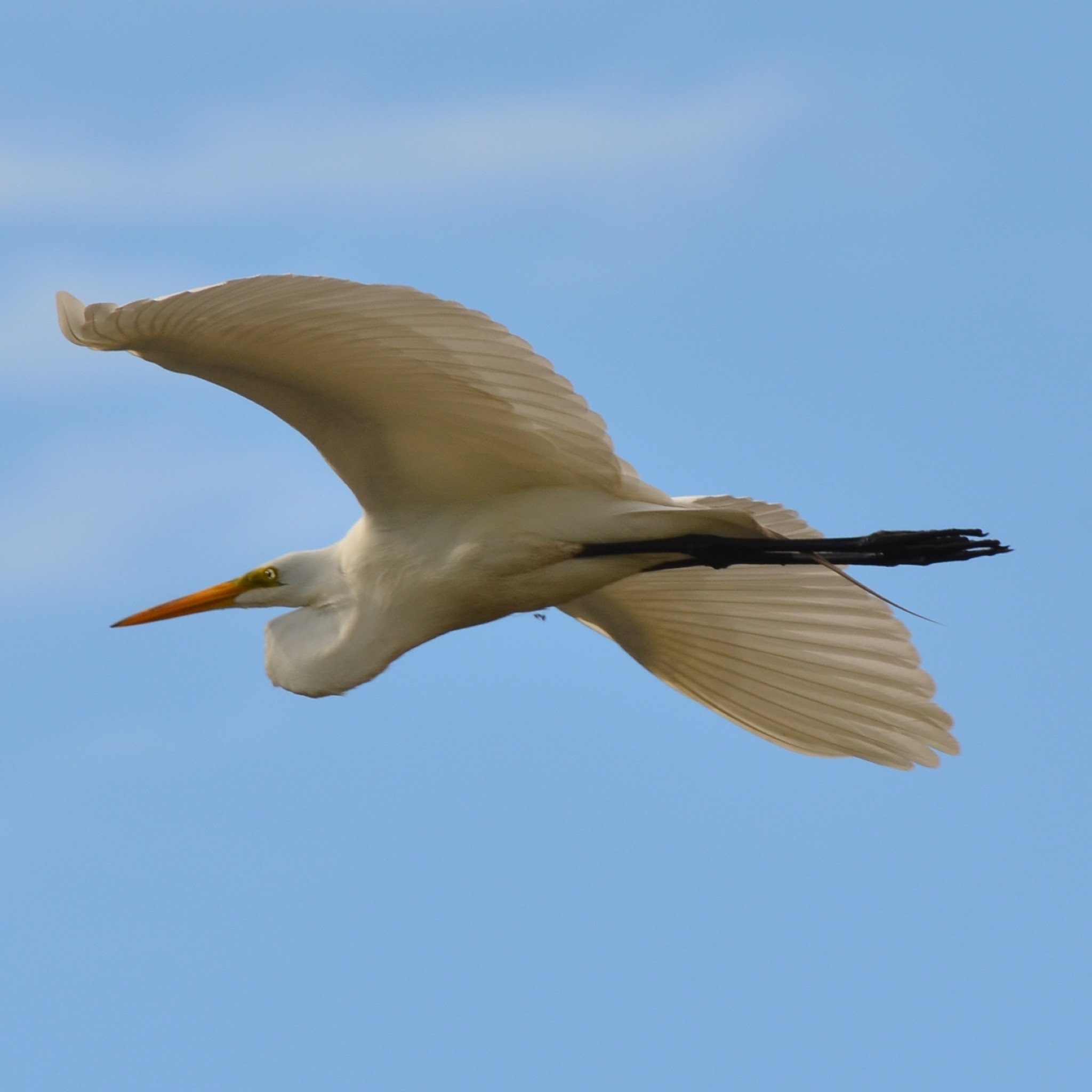 Great Egret soaring over our house.
