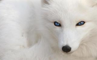 white_fox.jpg